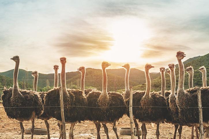 Ostrich Farm, South Africa