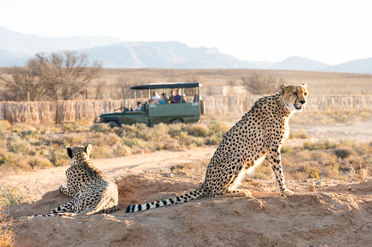Spotting Cheetah on Safari