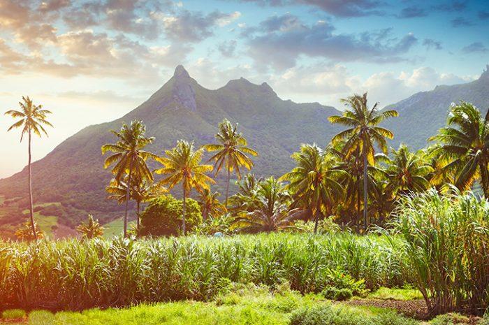 Sugar Cane Fields in Mauritius