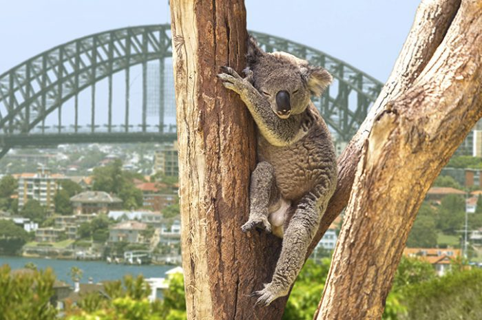 Koala in front of Sydney Harbour Bridge