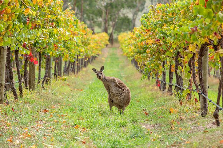 The Indian Pacific Kangaroo Barossa Valley