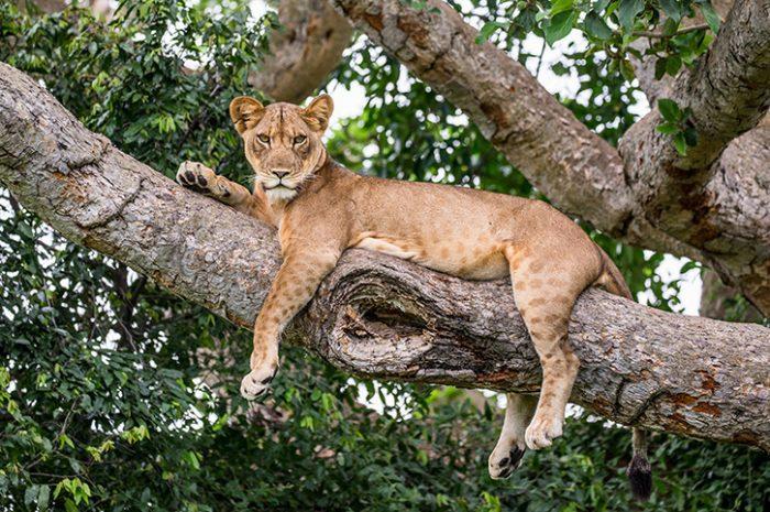Tree climbing lion, Queen Elizabeth National Park