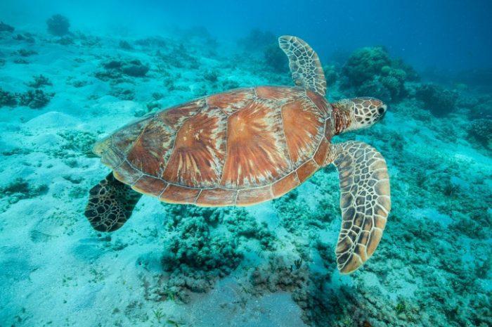 Turtle, Green Island
