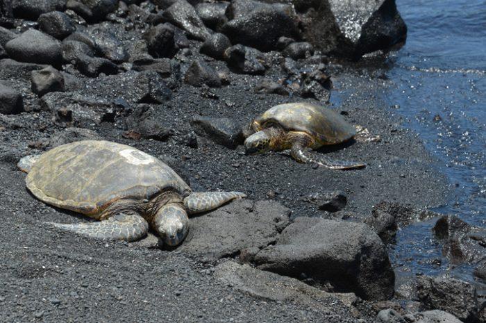 Green sea turtles, Hawaii
