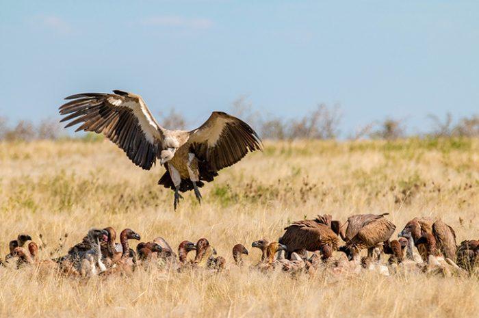 Vultures, Etosha National Park
