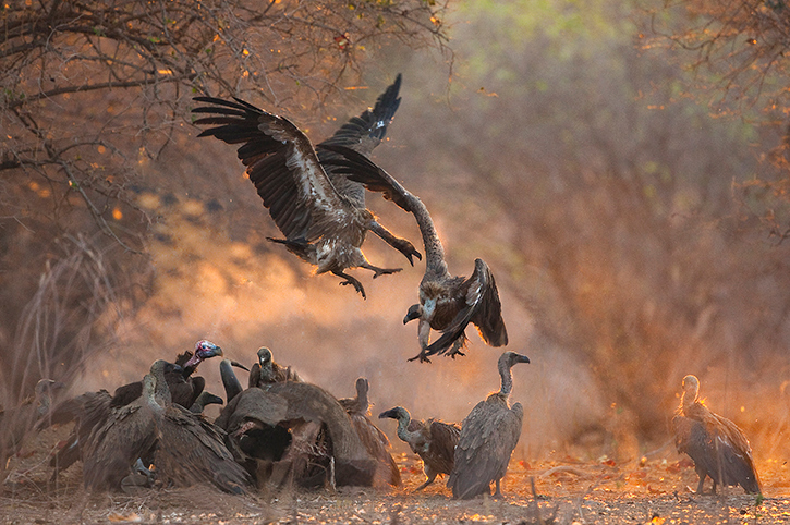 Vultures, Mana Pools National Park