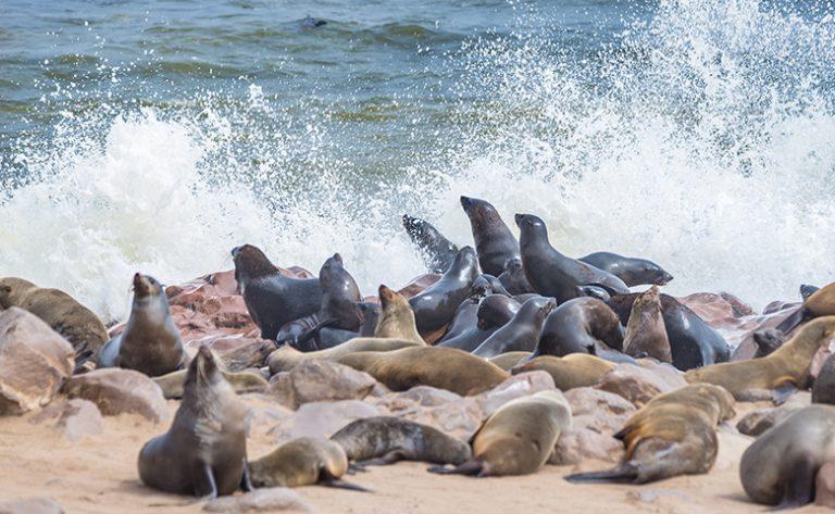 Walvis Bay Seals Namibia