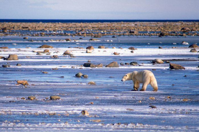 Wandering Polar Bear, Canada
