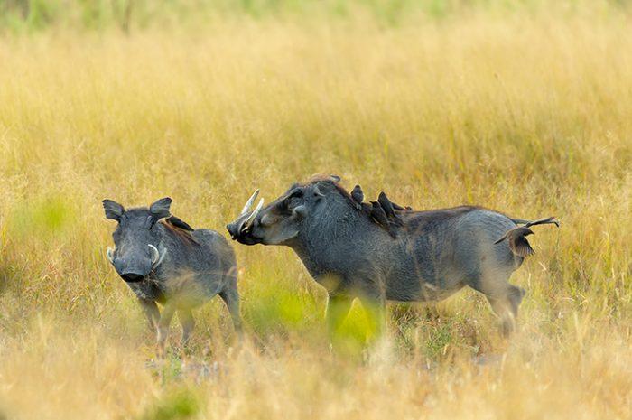 Warthog in Moremi Game Reserve, Botswana