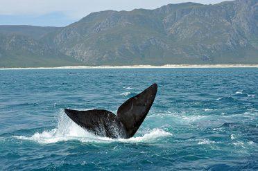 Whale, Hermanus