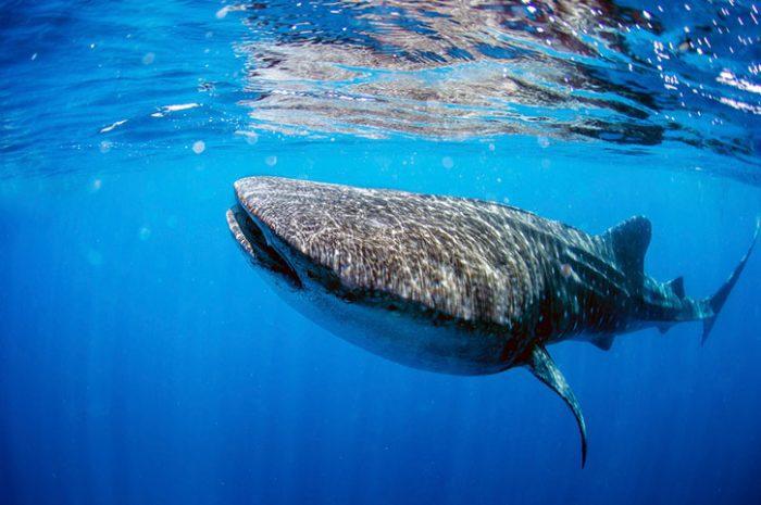 Whale Shark, Mombasa