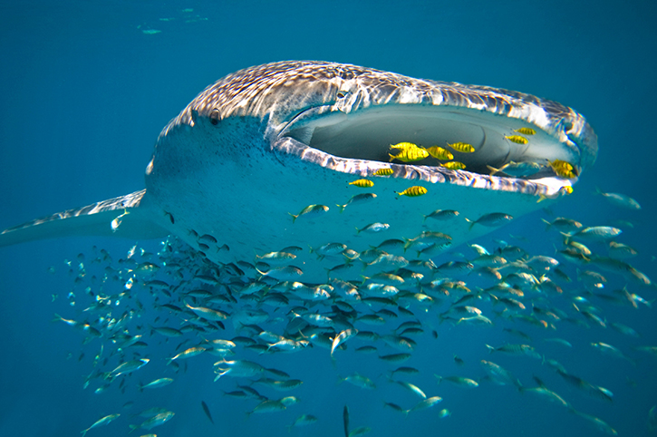 Whale Shark, Ningaloo Reef