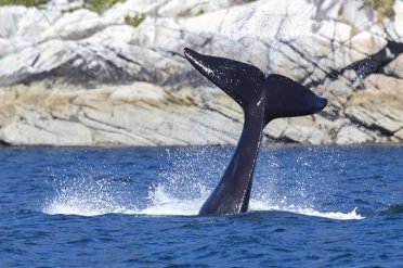 Whale Watching In British Columbia, Canada