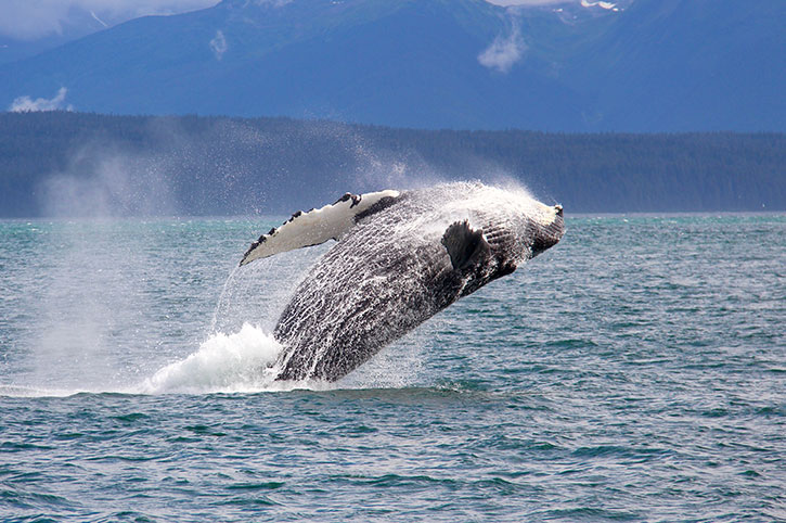 Whale Watching In Seward, Alaska