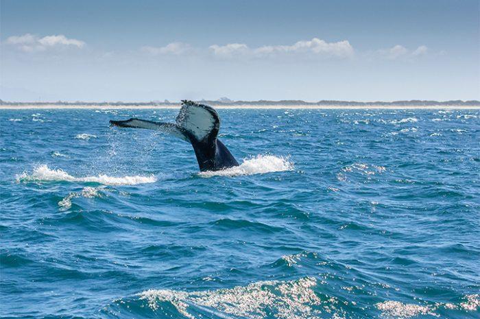 Whales, Monterey