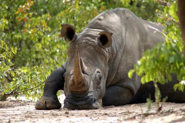 White rhino, Matopos National Park