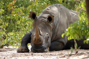 White Rhino Matopos National Park