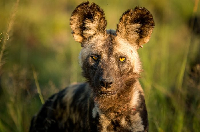 Wild Dog in Kruger National Park