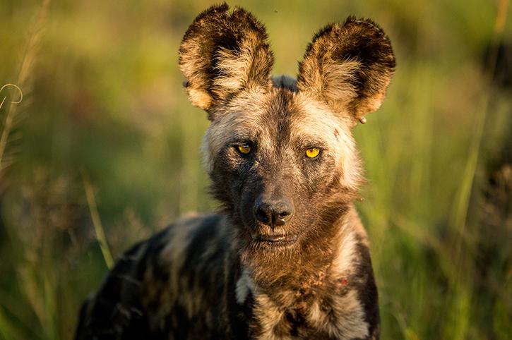 Wild Dog in Kruger National Park