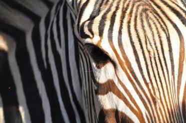 Wild Africa Travel Zebra