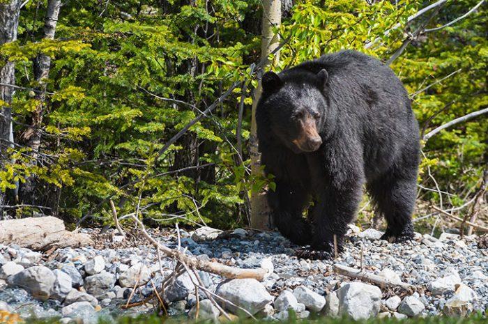 Wild Bear, Canada
