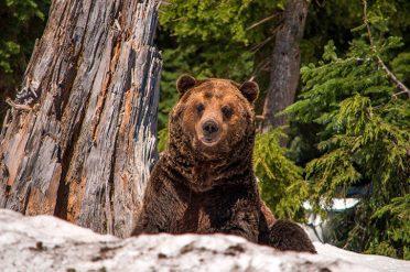 Wild grizzly bear, Canada