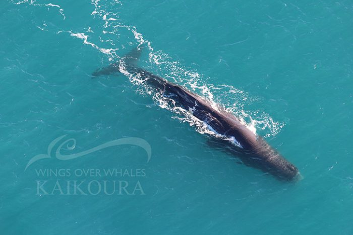 Wings Over Whales Kaikoura Sperm Whales