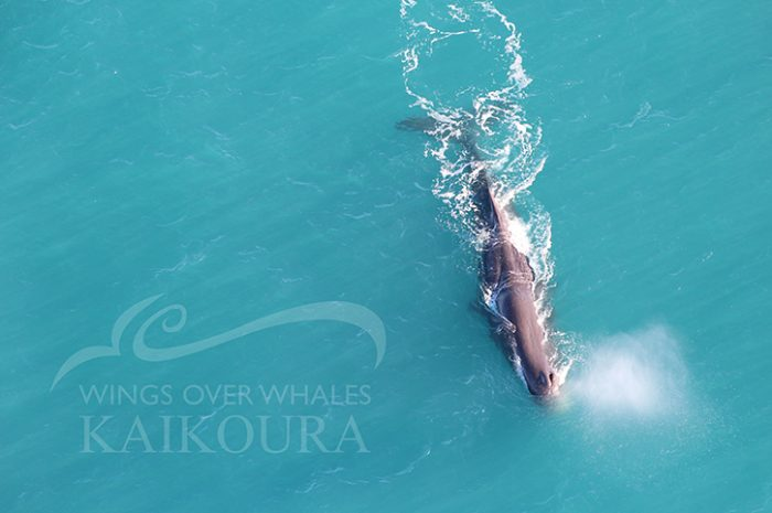 Wings Over Whales Sperm Whale Kaikoura