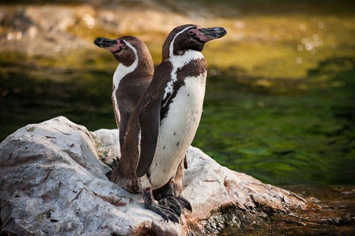 Yellow Eyed Penguins, Otago