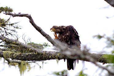 Young Bald Eagle, Canada