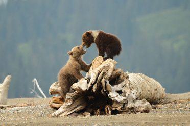 Young Bear Cubs, Alaska