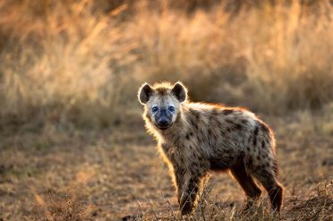 Young Spotted Hyena, Kenya