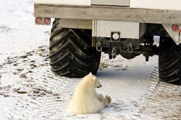 Young Polar Bear, Canada