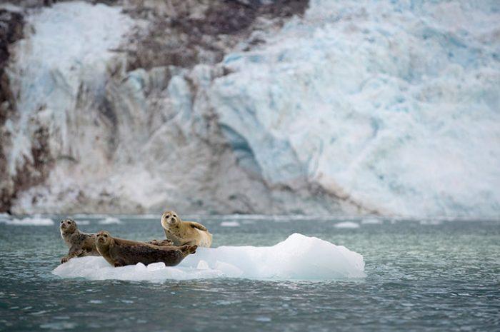 Young Seals, Alaska