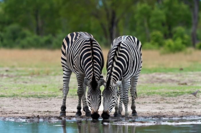 Zebra, Hwange National Park