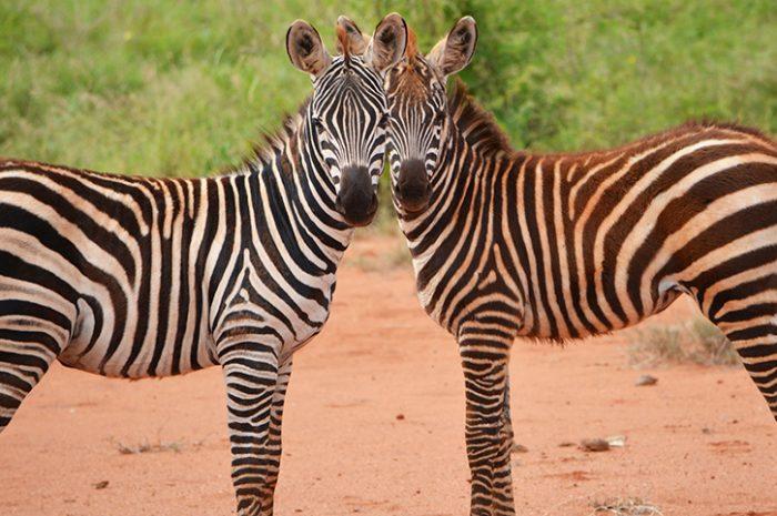Zebra Tsavo East