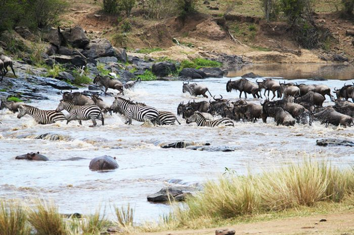 Zebra and wilderbeest crossing river