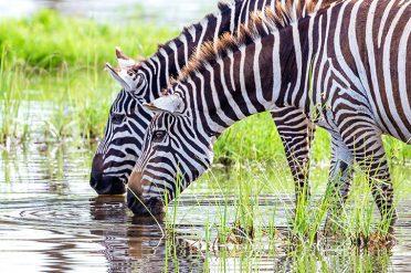 Zebra Drinking Kenya
