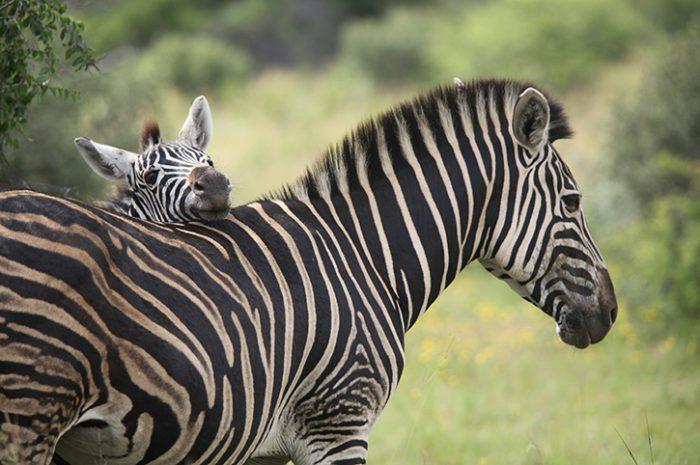 Zebras, Pilanesberg National Park