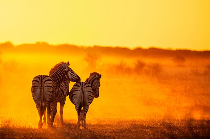 Zebras, Zambezi National Park