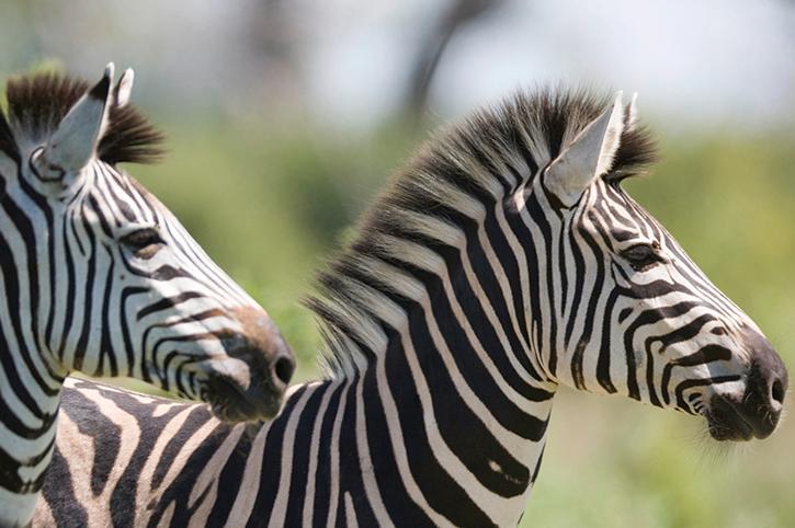Zebras Botswana
