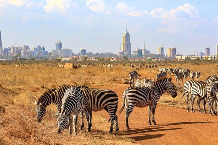 Zebras In Front Of The City, Nairobi