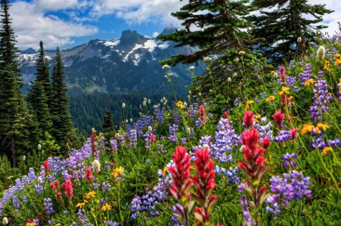 Flowers at Mount Rainier