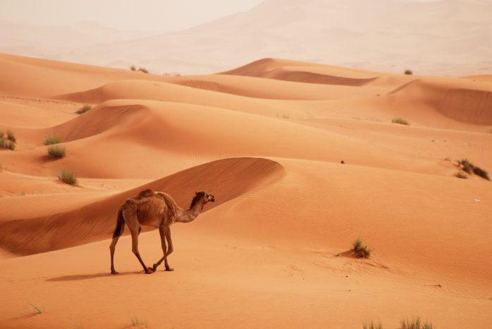 Camel, Dubai Desert