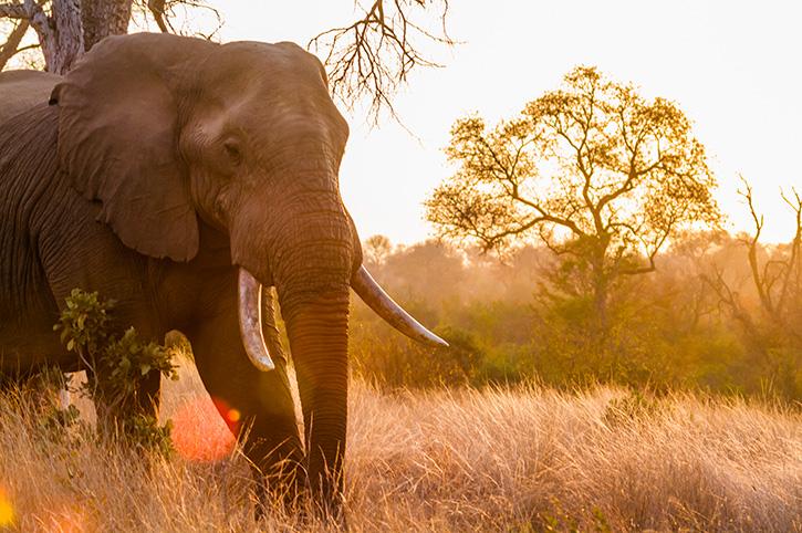 Elephant, Kruger National Park