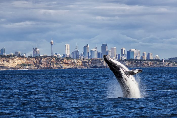 Whale Watching at Sydney Harbour